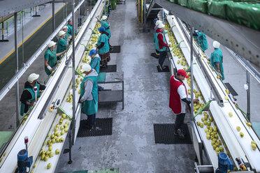 Women working in apple factory - ZEF14682