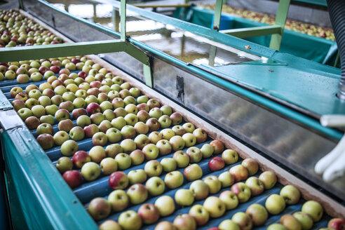 Apples in factory on conveyor belt - ZEF14685