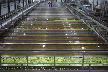 Green apples in factory being washed - ZEF14718