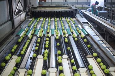 Green apples in factory being sorted - ZEF14724