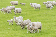Great Britain, Scotland, Scottish Highlands, flock of sheep - FOF09417