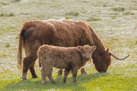 Great Britain, Scotland, Scottish Highlands, Highland cattle with young animal - FOF09423