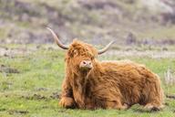 Great Britain, Scotland, Scottish Highlands, Highland Cattle - FOF09426