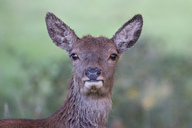 England, Portrait of red deer, Cervus elaphus - MJOF01434