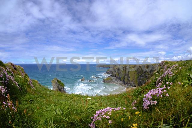 Great Britain, England, Cornwall, near Newquay, Bedruthan Steps, rocky coast, marsh daisies - SIEF07587