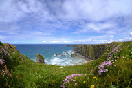 Great Britain, England, Cornwall, near Newquay, Bedruthan Steps, rocky coast, marsh daisies - SIEF07587