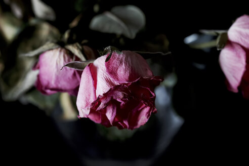 Withered pink roses against black background, close up - JTF00859