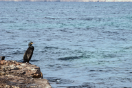 Spain, Formentera, cormorant standing on rock - CMF00749