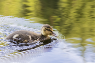 UK, Scotland, Highland, Glencoe, mallard duckling on Glencoe Lochan lake - FOF09448