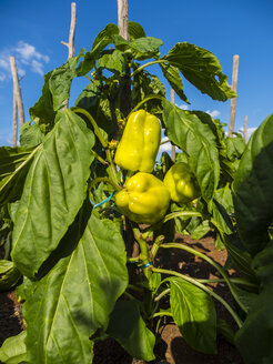 Croatia, Damlatia, Brac Island, Povlja, yellow chili pepper - AMF05508