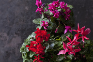 Red and pink Cyclamen on dark ground - CSF28517