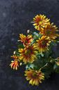 Bicoloured Chrysanthemum - CSF28520