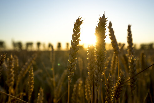 Ears of wheat at sunset - PUF00895