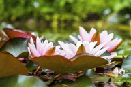 Water lilies in a pond - PUF00897