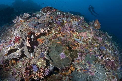 Indonesia, Bali, Nusa Lembongan, Coral reef with Lyretail Anthias, Pseudanthias squamipinnis - ZC00572