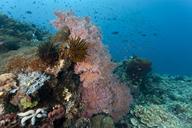 Indonesia, Bali, Nusa Lembongan, Gorgonian Sea Fan, Solenocaulon sp - ZC00587