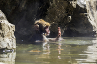 Japan, Red-faced makak, young animal in water - THAF02058