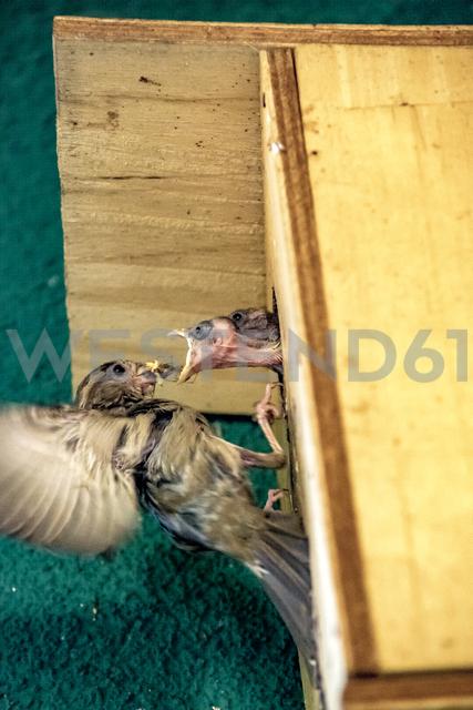 Sparrow feeding young bird - BIGF00064 - Big Man/Westend61
