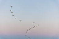 South Africa, Cape Town, Flock of birds in the sky - ZEF14849