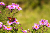 Peacock butterfly sitting on blossom of pink aster - NDF00702