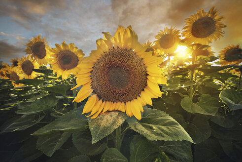 Spain, sunflower field at sunset - DHCF00160