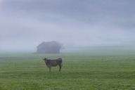 Germany, Bavaria, Allgaeu, cattle on an alpine meadow near Oberstdorf, morning fog - WGF01137