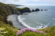 Great Britain, England, Devon, Hartland, Hartland Quay, Cliff coast and sea thrift - SIEF07615