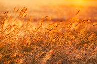 Great Britain, Scotland, East Lothian, wild grasses backlit by the sun at sunset - SMAF00870
