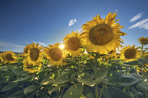 Sunflower field against the sun - DHCF00165