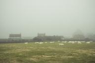 France, Goury, cattle herd on meadow, fog - DWIF00879