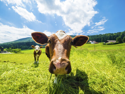 Austria, Salzkammergut, cow on meadow, looking at camera - AMF05551