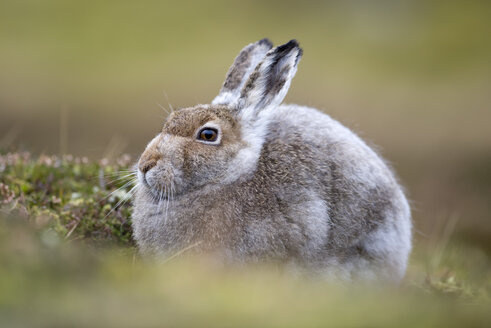 UK, Scotland, Mountain Hare - MJOF01452