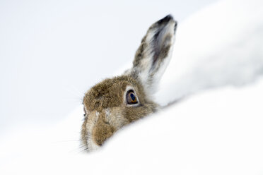 UK, Scotland, Mountain Hare in snow - MJOF01457