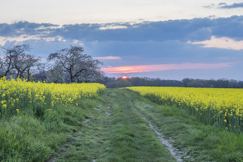 Germany, Saxony-Anhalt, Wernigerode, field path and rape fields in the evening - PVCF01234