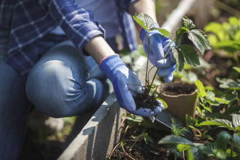 Young woman planting strawberry plant in garden - VPIF00275