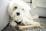 Portrait of Maltese dog lying on carpet with bone - MOEF00558