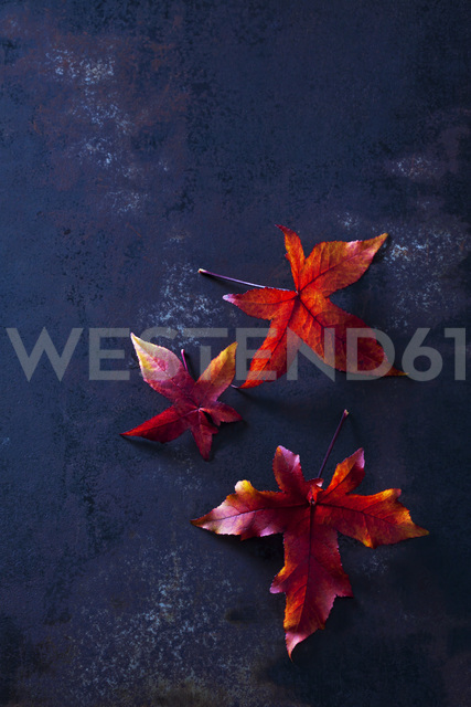 Three autumn leaves of sweetgum - CSF28639
