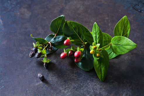 St. John's Wort with blossom buds and fruits - CSF28642
