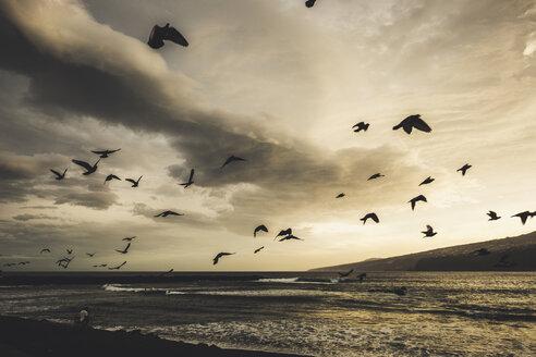 Spain, Tenerife, Puerto de la Cruz Atlantic in the morning, flying pigeons - SIPF01892