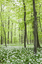 Germany, North Rhine-Westaphalia, Eifel, wild garlic blossom in beech forest - GWF05373