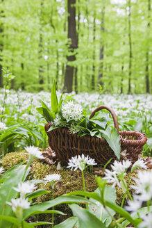Germany, North Rhine-Westphalia, Eifel, wild garlic, Allium Ursinum, in wicker basket - GWF05376