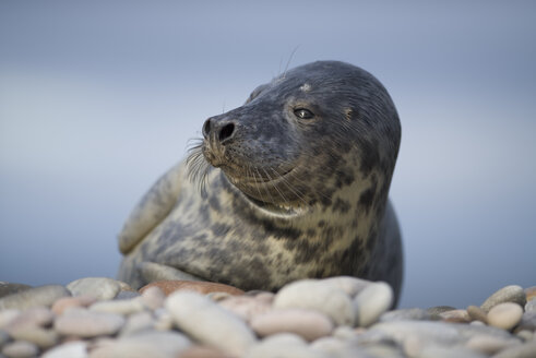 Scotland, Grey seal, Halichoerus grypus - MJOF01460