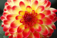 Yellow and red dahlia - JTF00873