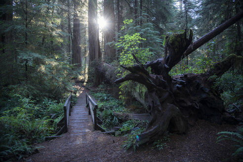 USA, California, Crescent City, Jedediah Smith Redwood State Park, hiking track - STCF00381