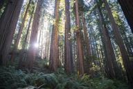 USA, California, Crescent City, Jedediah Smith Redwood State Park, Redwood trees against the sun - STCF00384