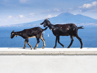 Italy, Campania, Naples, two goats walking on wall, Vesuvius in the background - AMF05591