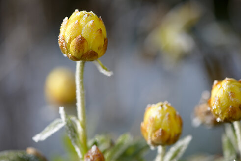 Bracted Strawflower frost-covered in winter - LBF01710