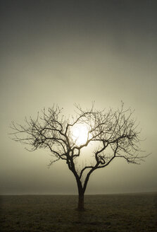 Tree without leaves against the morning sun, morning fog, autumn - WWF04055