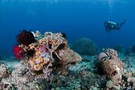 Indonesia, Bali, Nusa Lembonga, Nusa Penida, female diver at coral reef - ZCF00599