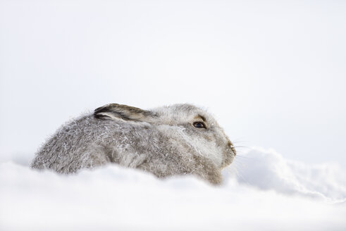 UK, Scotland, portrait of Mountain Hare in snow - MJOF01463